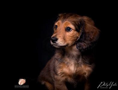 Dog Portrait Gallery -  Philip Yale - Cheshire Dog Photographer
