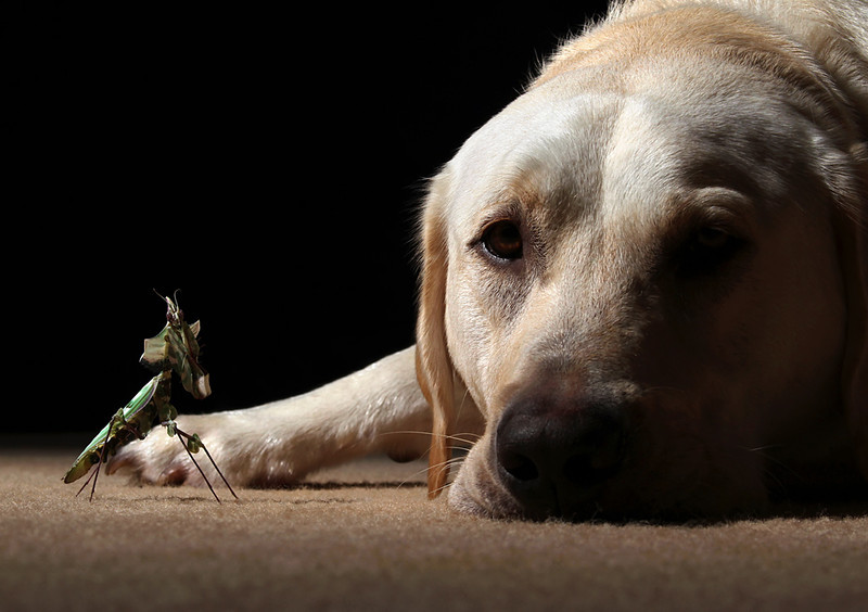 Labrador and Idolomantis become friends.jpg
