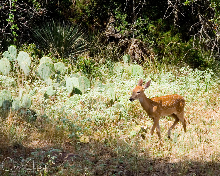 Baby Deer near Austin, Texas