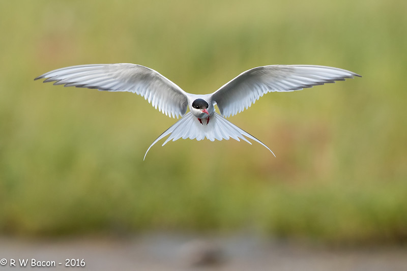 Artic Tern  in Flight.jpg