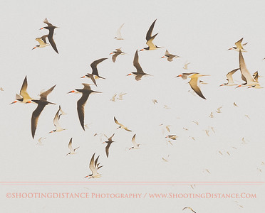 Black Skimmers Fly at Rollover Pass, TX