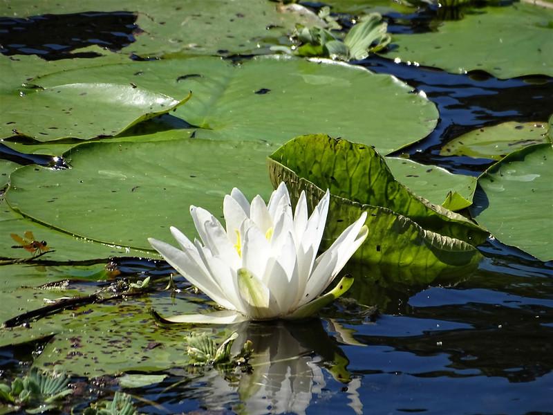 9_14_19 Water Lily Bloom.jpg