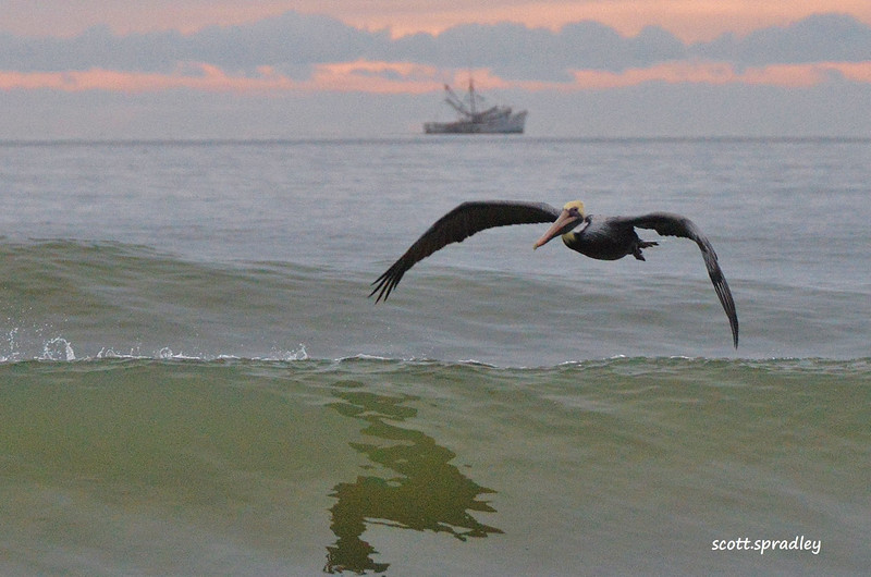 Ocean Art Pelican.jpg