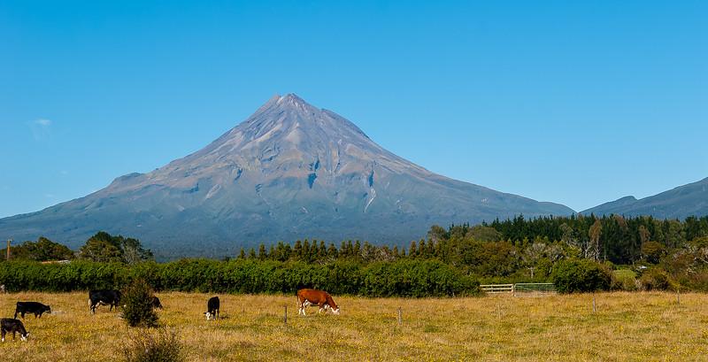 Cattle in front of Mt. Taranaki, North Island, New Zealand