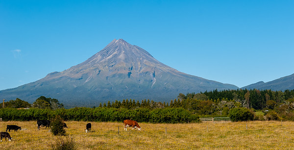Cattle in front of Mt. Taranaki, North Island, New Zealand