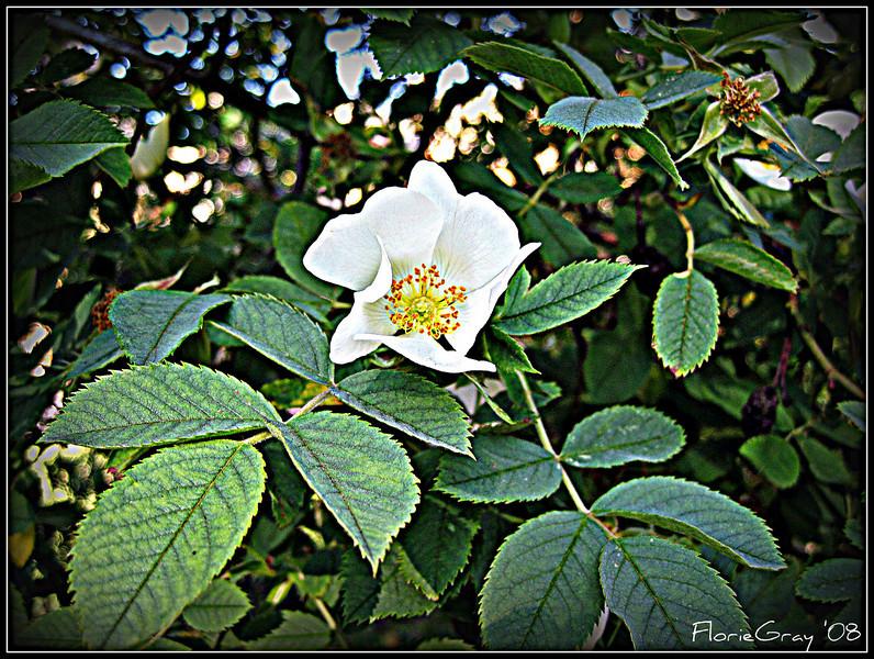 My Wild Wroxton Rose