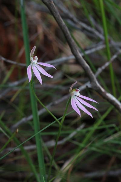 Caladenia carnea - Pink Fingers