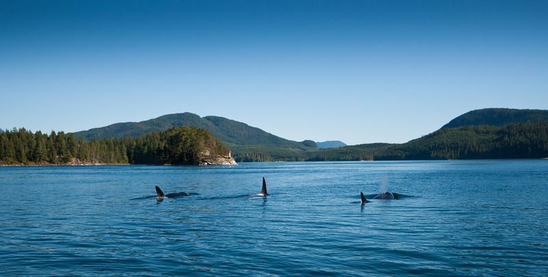 Killer Whale's, Vancouver Island.