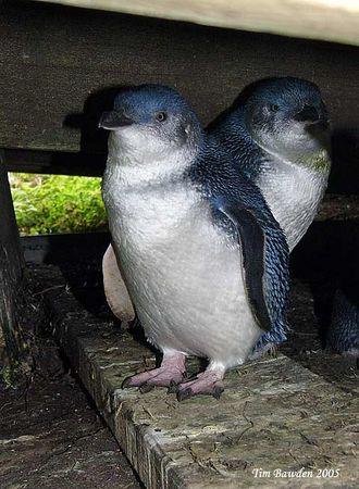 Birds - Penguins