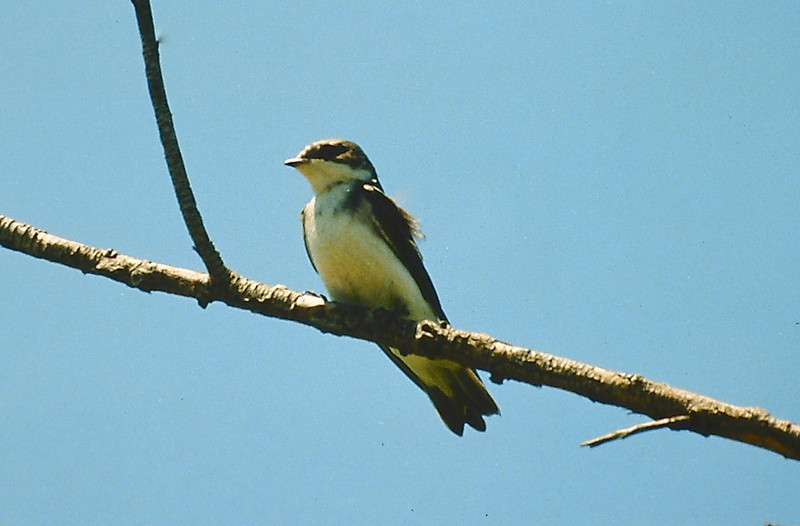 011White rumped Swallow021