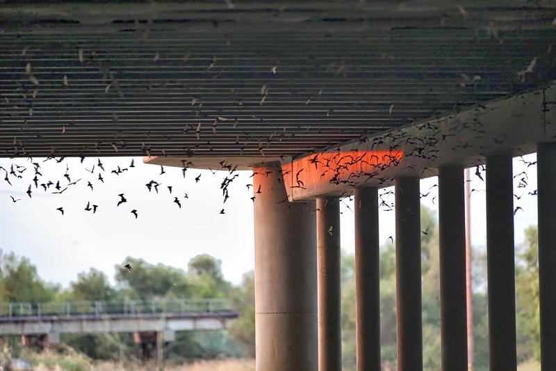 Yolo Causeway Mexican Bats2018-08-03 (3).jpg
