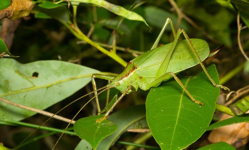 Florida true katydid, Lea floridensis (Pseudophyllinae) from the Timucuan Preserve in Jacksonville, Florida.