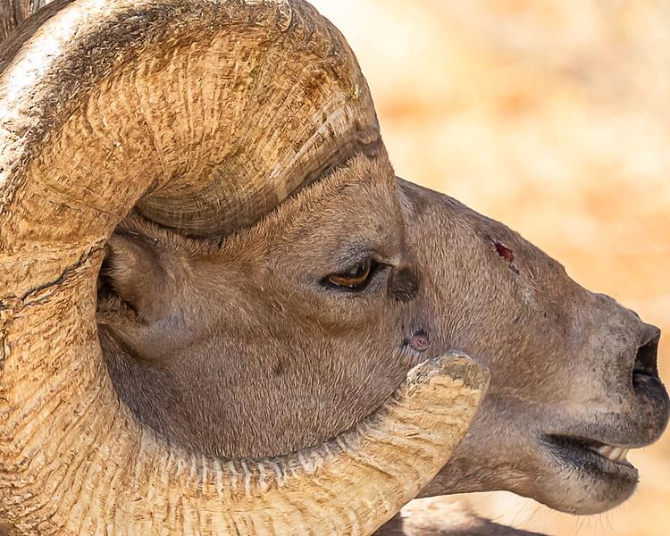 desert ram close up.jpg