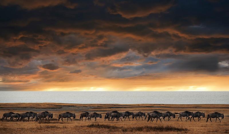 wildebeest, Tanzania, 2019