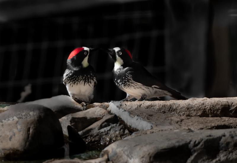 Acorn Woodpecker male & female
