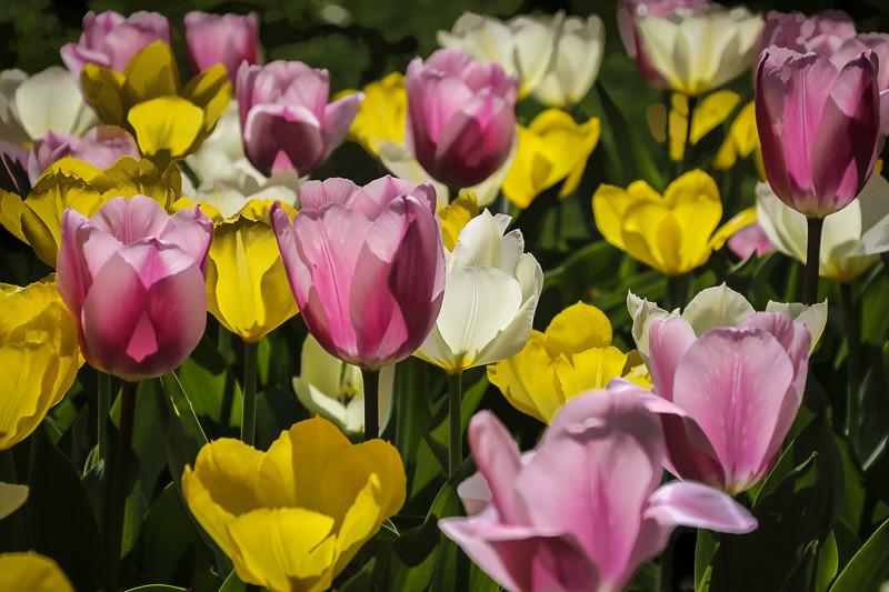 April 17 - Tulips.jpg