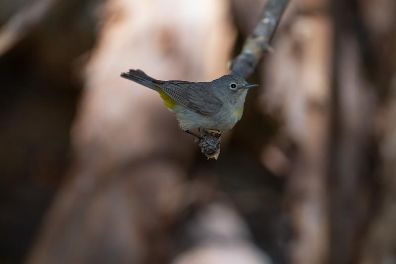Virginia's Warbler - Carr Canyon, AZ, USA