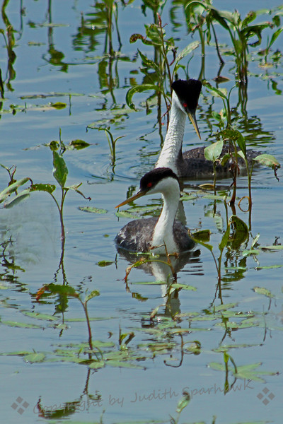 Western Grebes Together