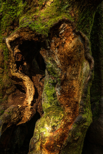 Barkscape: Lord Hill Wonder Tree   Lord Hill Park, Monroe Washington