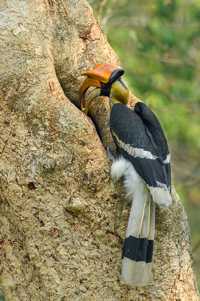 Great-hornbill-feed-rehearsal-11.jpg