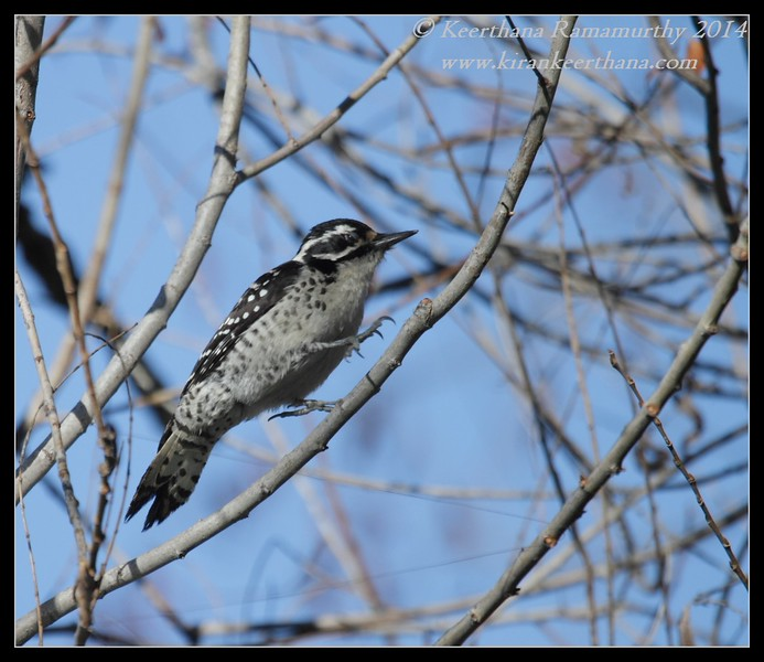 Nuttall's Woodpecker Female, Santee Lakes, San Diego County, California, February 2014