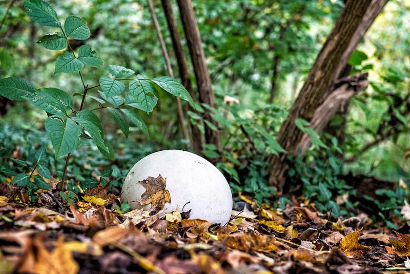 Giant Puff ball....