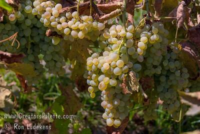 Seibel #9110 Grape (Verdelet) - Vitis vinifera