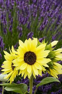 Sunflowers at Jardin du Solei Lavender Farm, Sequim