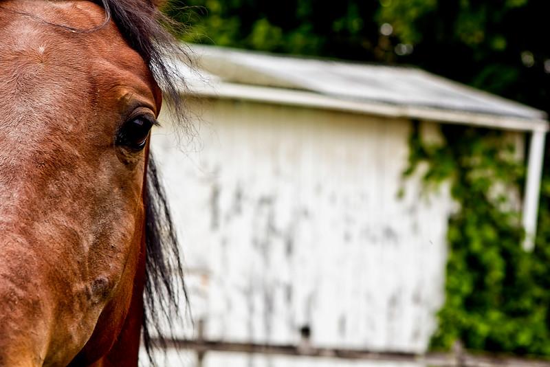 Vermont_Morgan Horse_103.jpg