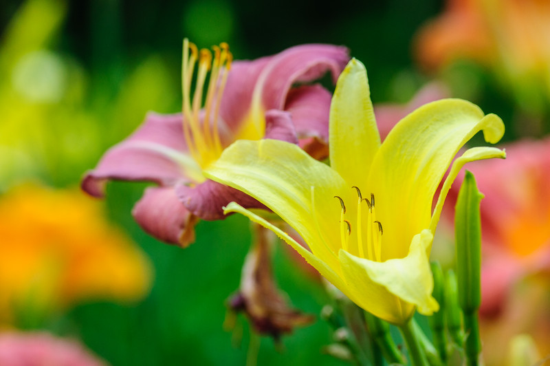 Yellow Day Lily blur