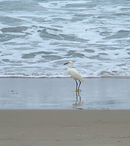 Pacific Fauna