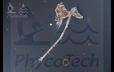 Arthropoda Crustaceomorpha