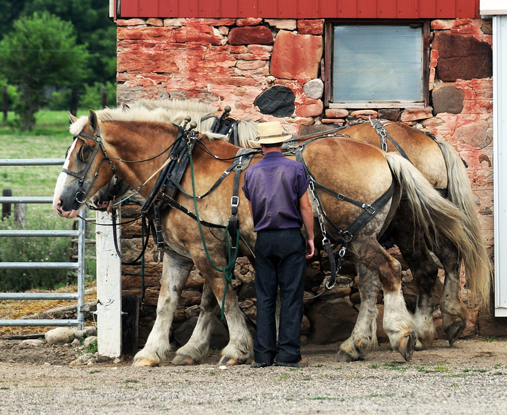02 Preparing the horses-Amish-Roper.  _9407.jpg