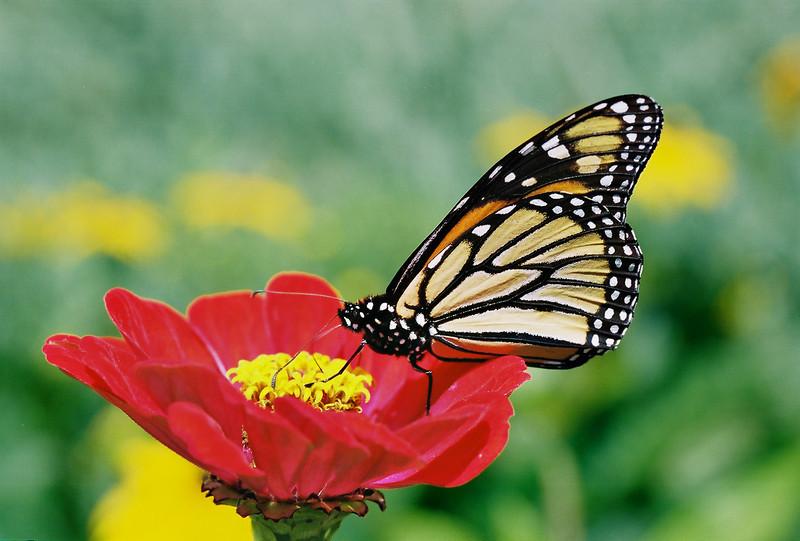Monarchmod.jpg