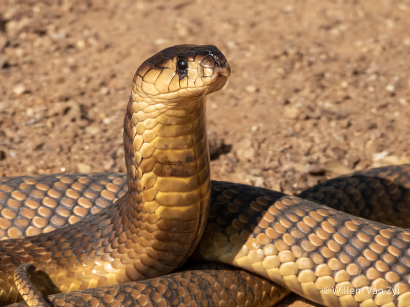 20190803 Snouted Cobra (Naja annulifera) from Gauteng