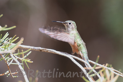 Broad-Tailed Hummingbird ♀