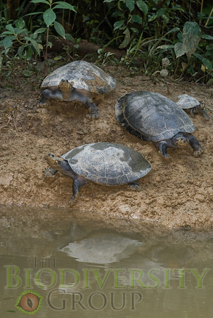 Giant River Turtles (Podocnemidae)