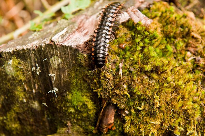 Millipede, on the way to Catarátas de Fátima Bosque de Paz Reserva Biologica