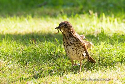 Vogels Zanglijster