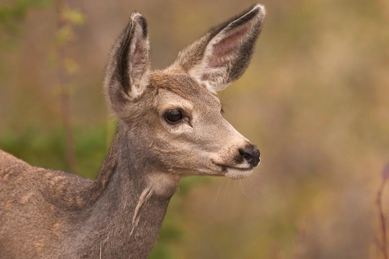 Young Mule Deer Yellowstone 770_7056.jpg