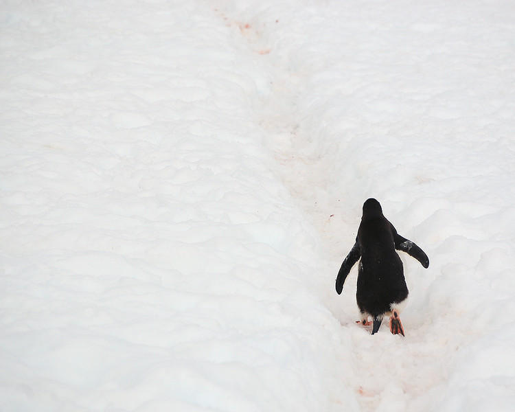 Antarctica: Penguin Highway