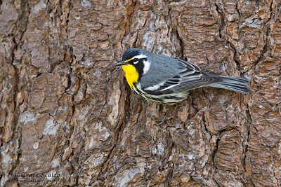 Yellow-throated warblers