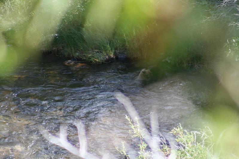 20110828 - 060 - GNP - Bear Cub Along Road By Many Glacier Hotel.JPG