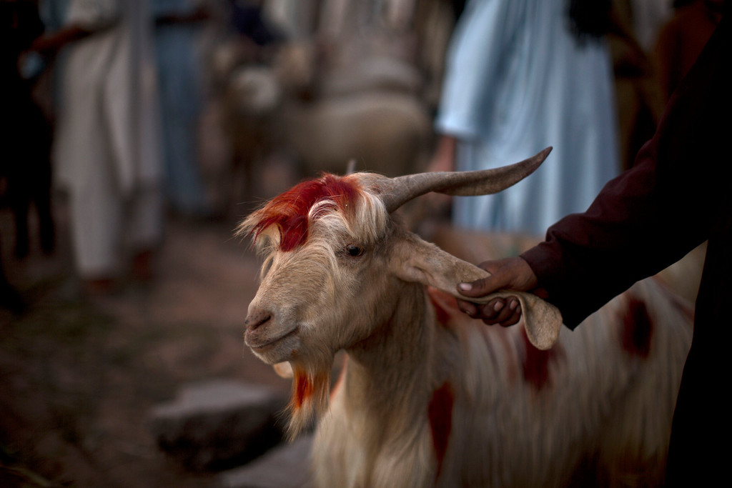 """. A Pakistani man holds a goat he bought from a livestock market, to be slaughtered on the upcoming Muslim holiday of Eid al-Adha, or \""""Feast of Sacrifice,\"""" which starts tomorrow in Islamabad, Pakistan, Tuesday, Oct. 15, 2013. M(AP Photo/Muhammed Muheisen)"""