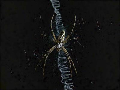 Garden Spider Sets Up In The Window