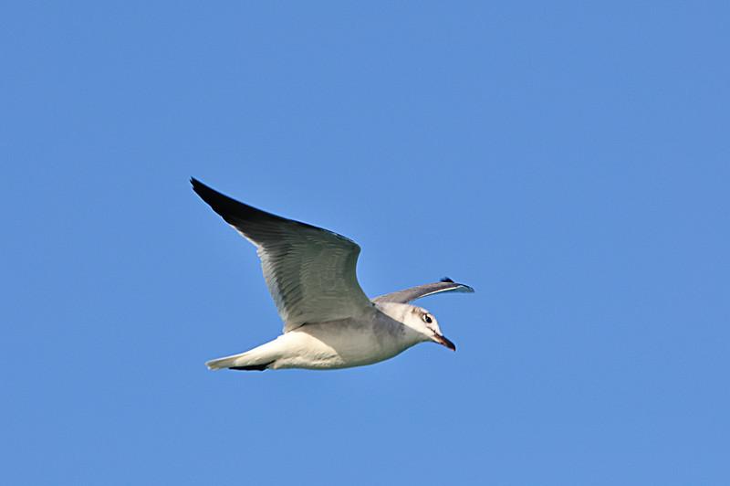 A gull?