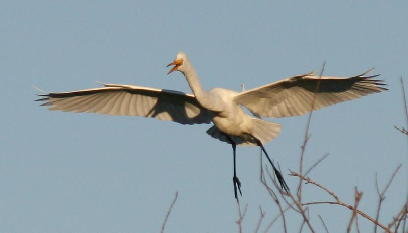 egret flying 4.jpg