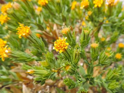 California Trixis (Trixis californica)