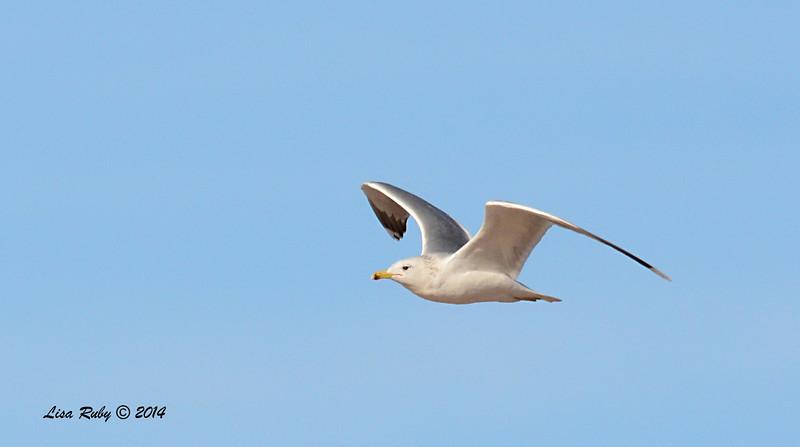 California Gull - 1/18/14 - Salt Works