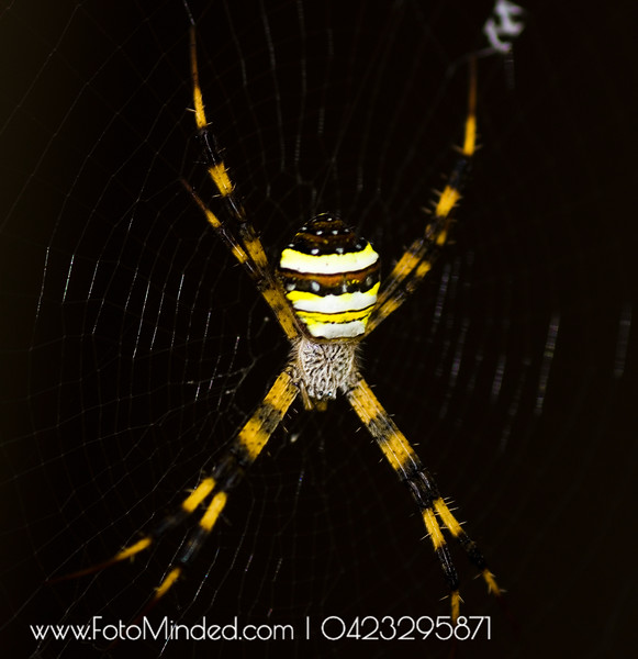 Did you know that 30% of the spider's body is its brain?  Yes, it needs that huge brain to control its legs.